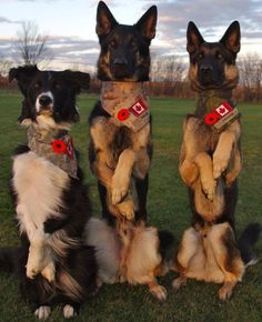 Canadian military dogs Tracer, Trooper Trigger standing at attention. God Bless these dogs & their handlers. Military Working Dogs, Military Dogs, Police Dogs, Military Photos, Military Personnel, I Love Dogs, Cute Dogs, War Dogs, Schaefer