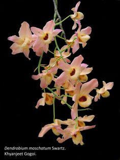 Dendrobium moschotum Swartz.