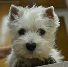 and it's heart shaped nose 💜 Westies, Westie Puppies, Cute Puppies, Dogs And Puppies, Doggies, Dog Nose, West Highland Terrier, White Dogs, I Love Dogs