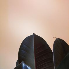 Burgundy Rubber Leaf Ficus