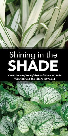 These exciting variegated options will make you glad you don't have more sun