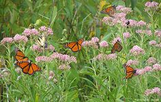 Plant milkweed! Butterflies are attracted to the flowers, as well as bees and other pollinators. -Ali C.