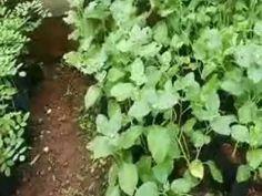 Medicinal Plants- Perala, Thechi,Neelamari,Amukkuram,Venga,Kumizhu and M...