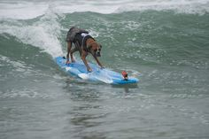Here Hanzo, a boxer, sets up for a big wave: | 20 Ridiculously Cute Surfing Dogs That You Need To Look At Now
