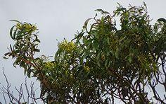 Golden Wattle Acacia pycnantha, Lot 50_Malone