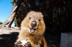Quokka ~  The+Berry