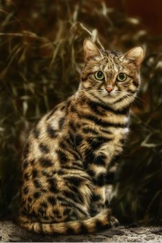 The black-footed cat (Felis nigripes), found in the southwest arid zone of southern Africa, is the smallest African cat.. Click for more.