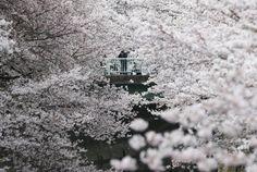 Miles de japoneses y turistas disfrutan de la belleza de los cerezos en flor en parques, avenidas y templos.