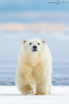 ~~Curious Cub • polar bear cub, Beaufort Sea, in the high arctic of Alaska • by Mark Needham~~