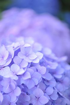 """HYDRANGEA. First discovered in Japan, the name hydrangea comes from the Greek """"hydor,"""" meaning water, and """"angos,"""" meaning jar or vessel. This roughly translates to """"water barrel,"""" referring to the hydrangea's need for plenty of water and its cup-shaped flower."""