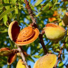 Bounty™ Almond Tree