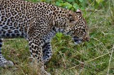 Panther, Safari, Africa, Adventure, Big, Cats, Animals, Gatos, Animales