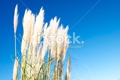 'Toitoi' or 'Toetoe' Grass Heads Royalty Free Stock Photo