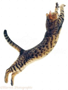 Bengal cat leaping photo - WP03377 #cat - Care for cats at Catsincare.com!