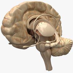 Human Brain Diagram, 3d Reconstruction, Qigong, 3ds Max, Biology, Scenery, Films, Sleep, Models