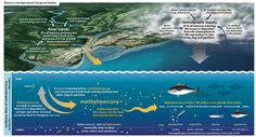 """Mercury in Seafood: according to a giant new report called """"Sources to Seafood: Mercury Pollution in the Marine Environment,"""" mercury pollution near the ocean's surface has more than doubled as a result of human activities over the last century."""