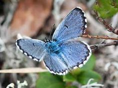 This is one expensive butterfly, if you step on it. The only one place in the Scandinavia where Eastern baton blue is known to live, is on a army shooting ground in Säkylä. If a soldier accidentally kills one Baton blue, the fine is 1682 €.  Harjusinisiipi, Scolitantides vicrama - Perhoset - LuontoPortti