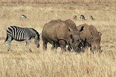 """Képtalálat a következőre: """"pretoria rietvlei nature reserve"""" Pretoria, Nature Reserve, South Africa, To Go, Elephant, History, Trees, Animals, Plants"""