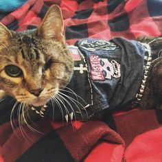 My friend makes punk vests for her one eyed cat...