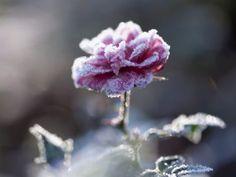 Uta Naumann: Winterrose - Leinwandbilder auf Keilrahmen