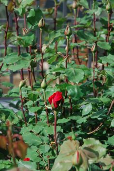 Waiting for the spring-blossom in our #rose #garden