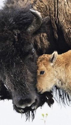 A bison cow and her calf. There is a farm a few miles from our home and they raise bison. These beautiful creatures are almost extinct. Farm Animals, Animals And Pets, Cute Animals, Wild Animals, Animals With Their Babies, Animals Planet, Animal Babies, Strange Animals, Nature Animals