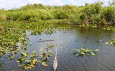Nothing's Sacred: Oil Industry Wants to Drill the Everglades