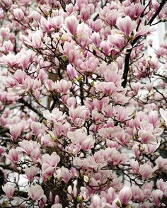 Magnolia. Happy Spring! My absolute favorite of all the seasons. Even on a rainy Monday morning! xo