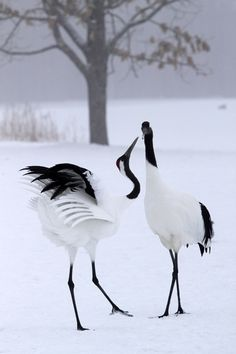 Random Beauty - Japanese Cranes