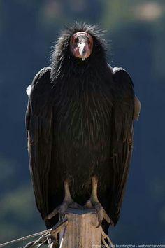 Urubu à tête rouge ou Vautour aura // Turkey Vulture -