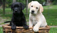 2. Labrador Retriever | Tiene tres colores registrados, que son los más comunes: Negro, amarillo (que va desde casi blanco a casi naranja) y chocolate.