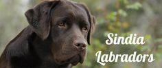 Allevamento riconosciuto ENCI - FCI per la selezione del Labrador Retriever nei tre colori. Small hobby kennel in the country of Tuscany