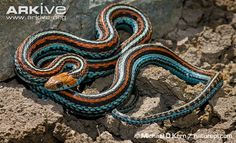 Common garter snake photos - Thamnophis sirtalis | ARKive