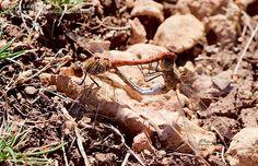 Nombre científico: Sympetrum striolatum, Descripción: Cópula., Provincia/Distrito: Teruel, País: España, Fecha: 15/10/2016, Autor/a: Patxi Establés, Id: 844841
