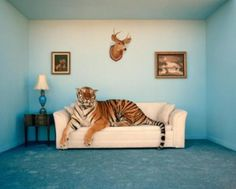 Tiger on a couch. What, you don't have one?