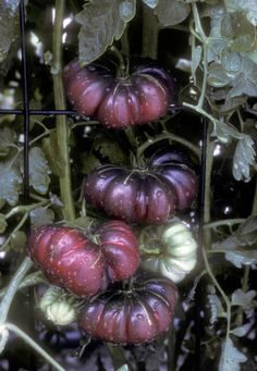 Gardening Tomatos Purple Calabash Fall Tomatoes-pretty and edible--I need to try these in my garden this spring Heirloom Tomato Seeds, Heirloom Tomatoes, Tomato Season, Growing Tomatoes In Containers, Rainbow Fruit, Organic Fruits And Vegetables, Fine Gardening, Tomato Garden, Vegetable Garden Design