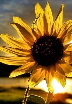 Sunflower sunshine ✿⊱╮