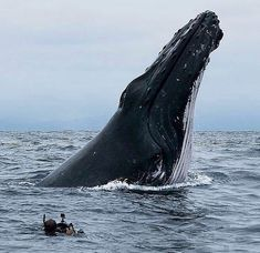 Rare footage of Whale feeding Echolocation is mainly found in toothed whales, such as dolphins and sperm whales, not their toothless cousins By The Slay Network Beautiful Creatures, Animals Beautiful, Cute Animals, Photo Animaliere, Majestic Animals, Strange Animals, Delphine, Ocean Creatures, Humpback Whale