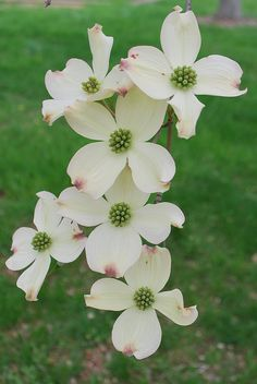 "Dogwood Is just part of who we are. We see it as a ""Christ Flower"" - the four petals represent the cross, the staining of the edge represents His blood shed for us, and the spikes in the center represents the nails. We love our Lord."