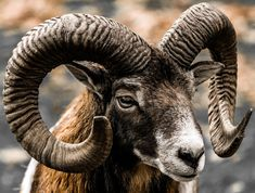 Mufflon von Ganzschoenscharf