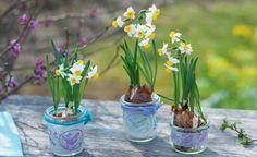 Die gelben und weißen Blüten der Narzissen sorgen nun für gute Laune. Als Solisten oder zusammen mit Zweigen und anderen Frühjahrsblühern lassen sie sich wunderbar in Szene setzen.