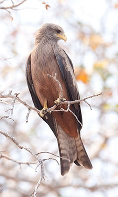 Yellow-billed Kite - Milvus aegyptius. When this kite swoops back into the skies of southern Africa around August 13 every year, we know that Spring is on its way.   An inter-African migrant it arrives and leaves like clockwork.  It is one of my favourites and I never cease to marvel at the ease with which the swoop through the skies. See my Flight board for pics of this bird on the wing.  Photograph Warwick Tarboton