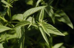 suma testosterone boosting root