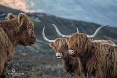 Getting the news. Scottish Highland Cow, Highland Cattle, Scottish Highlands, Farm Animals, Funny Animals, Cow Pictures, Muumuu, Llama Alpaca, Highlanders
