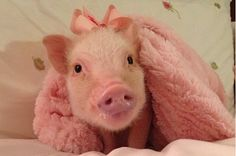 Priscilla The Pig Is The Cutest Porker On Instagram And Also Your New Best Friend