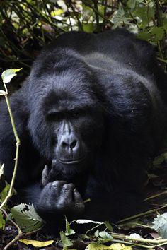 Viaje a Uganda, Gorilas