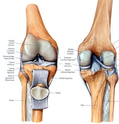 """Four bones: the femur, tibia, fibula and the patella are all held together by a few ligaments. The collateral ligaments hug the knee joint from thigh to shin to stabilize the side-to-side movement. Two cruciate ligaments cross under the kneecap like an """"X"""" to stabilize the knee's forward and back movement. Two crescent-shaped cartilage discs (aka meniscus) sit between the tibia and femur to distribute weight."""