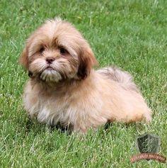 Lhasa Apso puppy - Logan