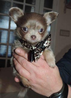 Beautiful Chihuahua!