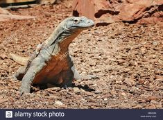 Download this stock image: Komodo Dragon (Varanus komodoensis), side view - HB0X2M from Alamy's library of millions of high resolution stock photos, illustrations and vectors.